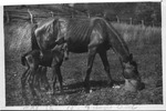 Horse with 3 day old colt, May 12, 1915