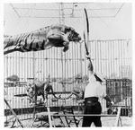 Training tigers for the circus at Memorial Field House, Huntington,WVa, Feb.,1959