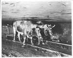 Cows pulling coal cart