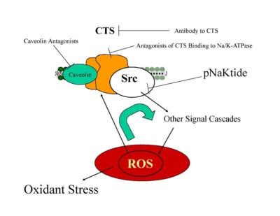cardiotonic steroids action